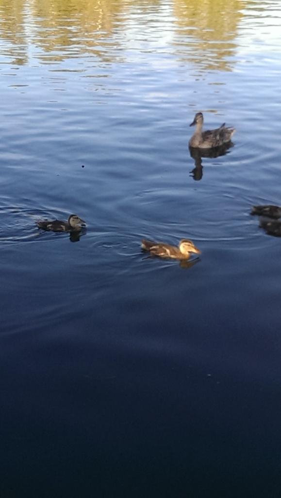 BP duckies